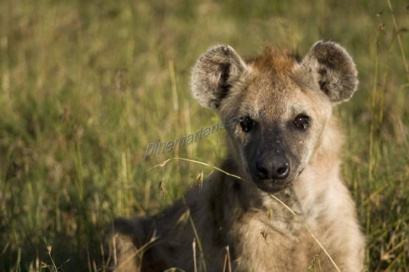 Hyena-1669