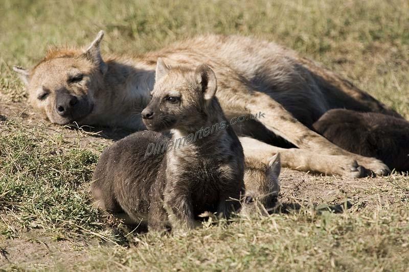 Hyena1867