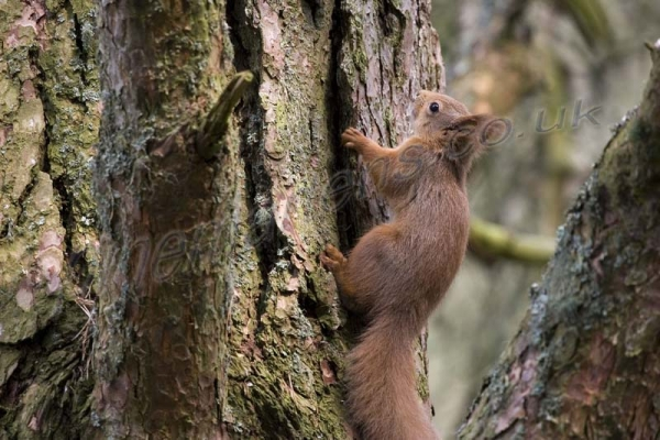 Red Squirrel 2612