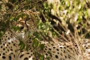 Cheetah Maasai Mara