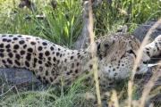 Cheetah-In-Shade