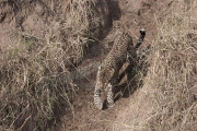 Leopard Maasai Mara
