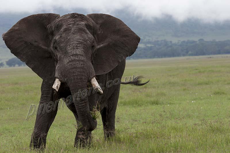 Bull Elephant Lake Manyara