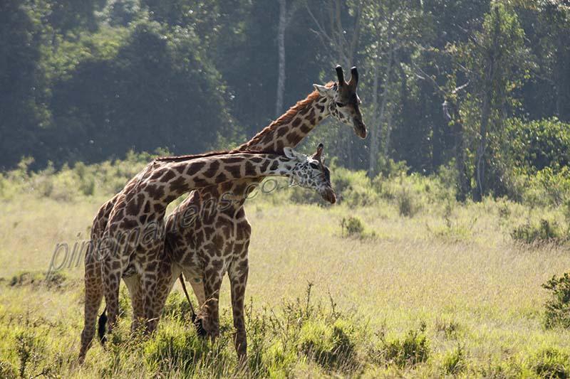 Giraffe Knecking Maasai Mara