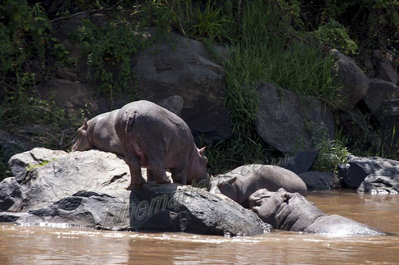 Hippo on rock Mara River