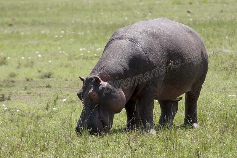 Hippopotamus grazing Maasai Mara