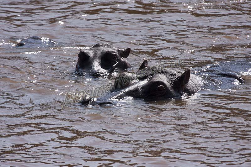Hippopotamus swimming Mara River