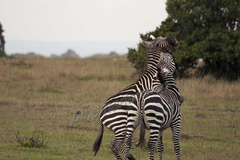 Zebra matching stripes