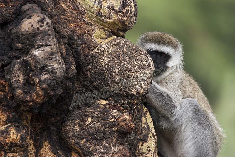 Vervet-Monkey-2184