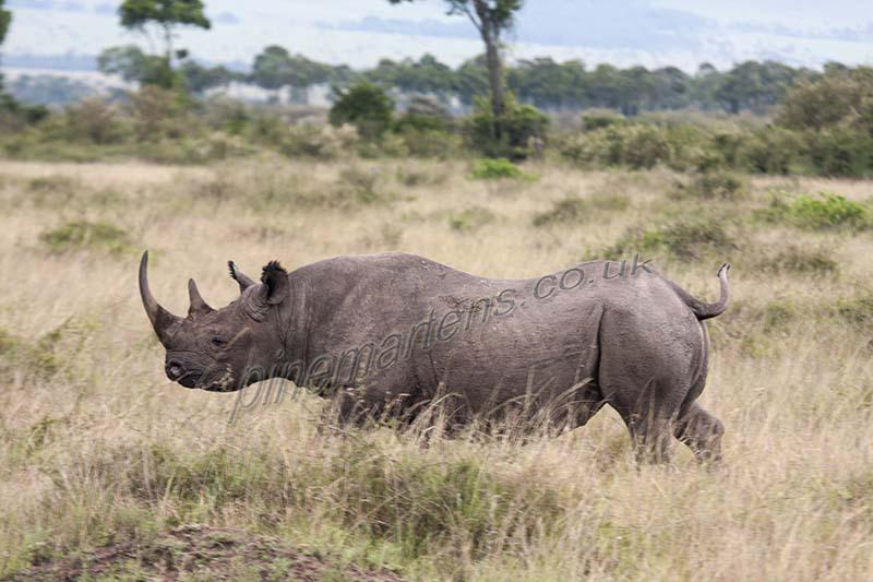White Rhinoceros Maasai Mara