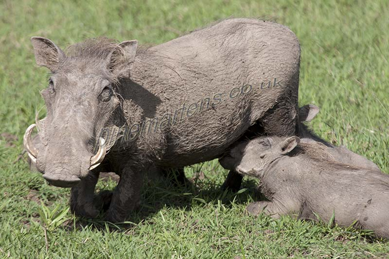 Worthog feeding young Piglets