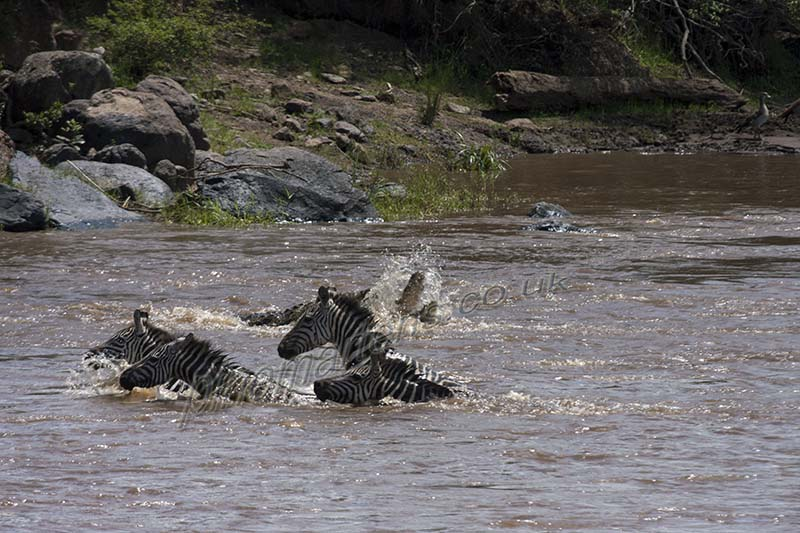 Zebras swim Crocodile River