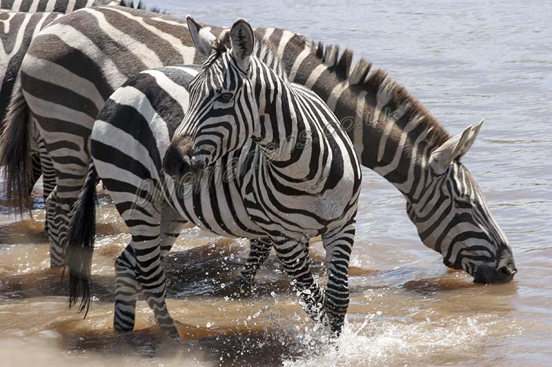 Zebra Drinking Mara River