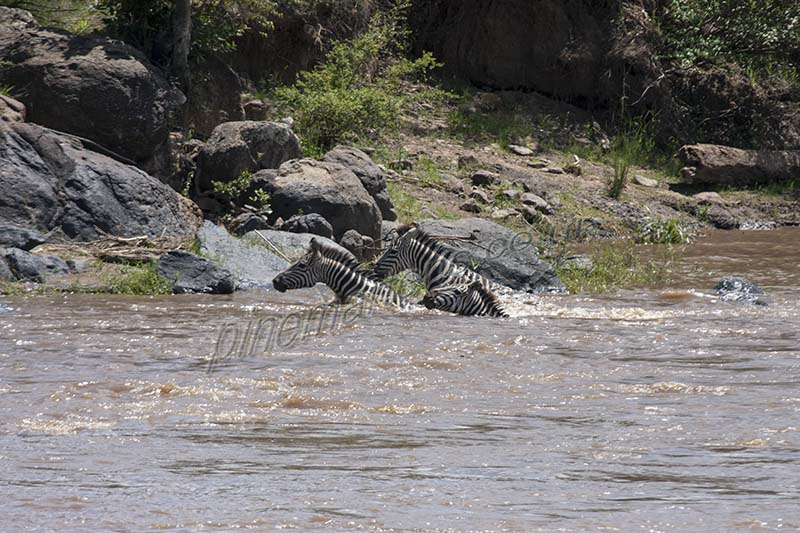 Zebras cross Mara River