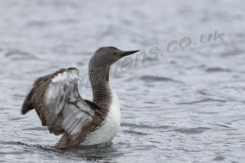 Red Throated Diver display