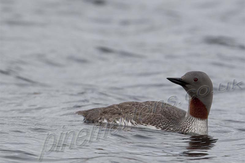 Red Throated Diver on loch