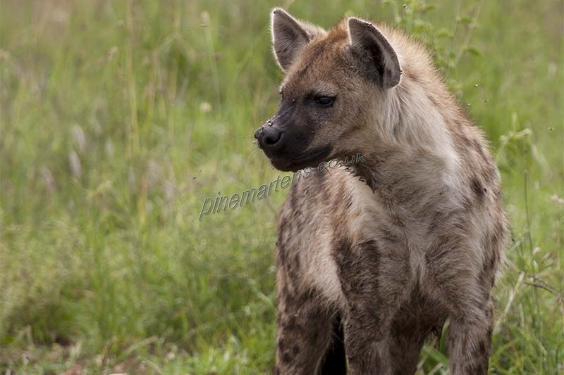 Hyena-1531