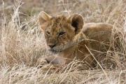 Lion-Cub-Portrait Mara