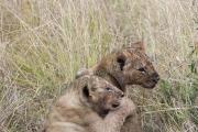 Lion Cubs Maasai Mara