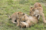 Lion Cubs Playing Mara