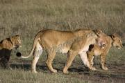 Lion Pride Maasai Mara