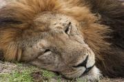 Lion Sleeping Mara