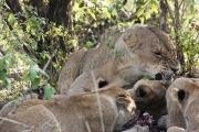 Lion pride with Kill Mara
