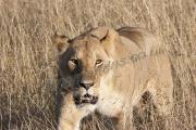 Lioness In-Grass Portrait Mara