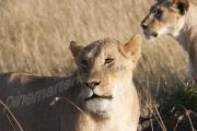 Lioness Maasai Mara