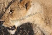 Lioness Potrait Masia Mara