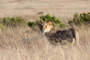 Lioness Tall Grass Mara