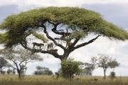 Lions Climb Tree Serengeti