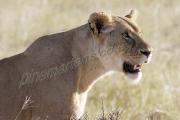 Lioness Portrait Mara
