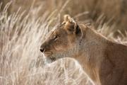 Mara Lioness side portrait