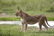 Lioness Prowling Serengeti