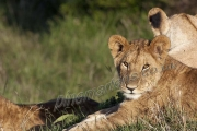 Young Lion in Pride Mara