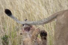 Lion Cub pulling tail Mara