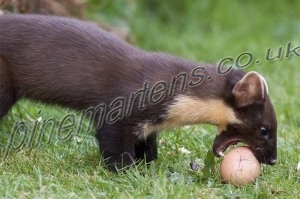 Pinemarten rolling egg/Pinemarten-1010