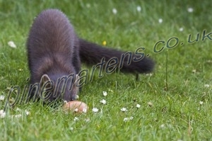 Pinemarten rolling egg/Pinemarten-0356