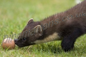 Pinemarten pushing egg/Pinemarten-2820