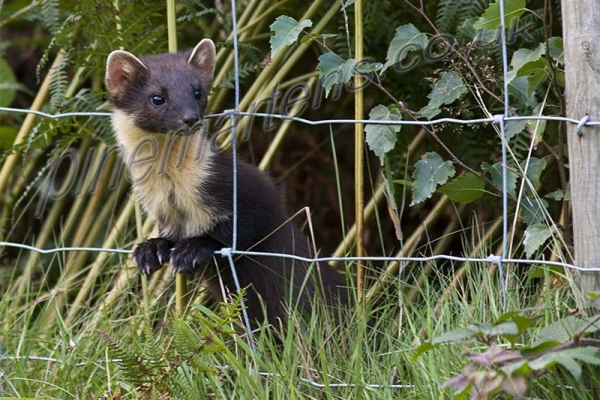 Pine Marten watches through fence