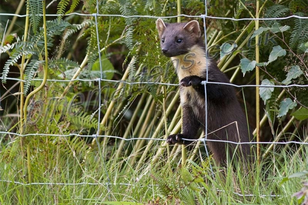 Pine Marten climbing through fence