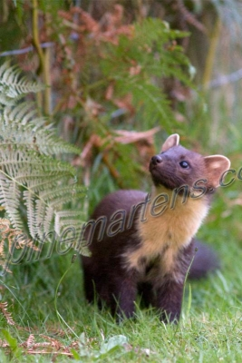 Pine Marten looking up tree