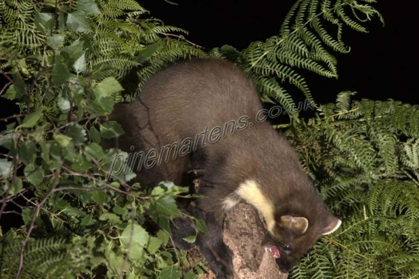 Pine Marten bearing teeth