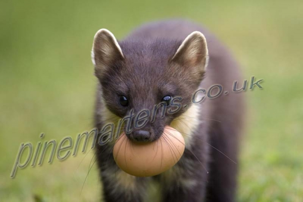 portrait Pine Marten carrying egg