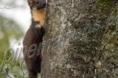 Pine Marten Climbing Tree