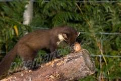Pine Marten investigates egg