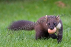 Pine Marten carrying egg