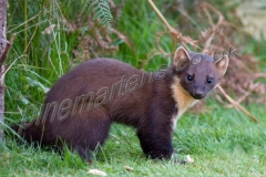 Pine-Marten in daylight
