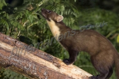 Pine Marten log at night